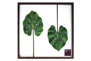 Elephant ear leaf アートフレーム ジェイアイジー