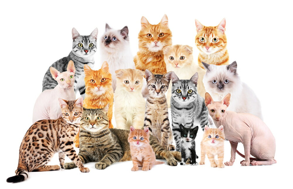 性格別猫の種類や選び方