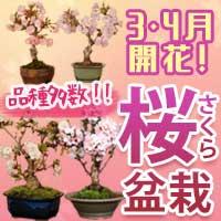 3・4月に開花!!さくら盆栽!遊恵盆栽 楽天市場店