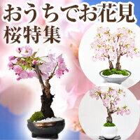 bonsai-myo
