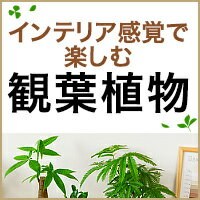 お部屋で緑を楽しむ!観葉植物カタログ