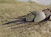 天然記念物「カブトガニ」の人工飼育に注力しています