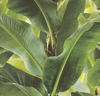 不織布壁紙 バナナリーフ柄<br>(3個使用)