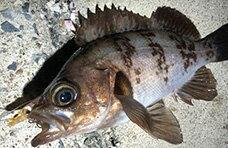 メバル・カサゴ・根魚