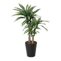 光触媒 観葉植物 大型/幸福の木 160cm