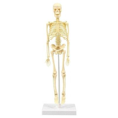 人体骨格模型 30cm学習セット(ケ-ス入)