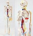 人骨模型 血管と心臓付ガイコツ85cm 人体模型(JK-3885)