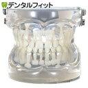 透明乳歯 永久歯期模型 永久歯萌出前4~6歳頃