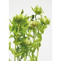 ArteFlor/ベニバナ レモングリーン 4本/DJ020302-025 プリザーブドフラワー 花材 フラワー その他お花