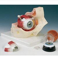 視覚器(眼球)と眼窩7分解モデル