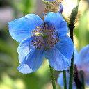 ヒマラヤの青いケシメコノプシス ベトニキフォリアの種