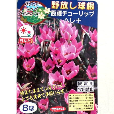 【野放し球根】原種チューリップ ヘレナ【秋植え球根】(8球詰)日なた向き