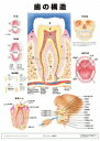 ミニポスタ-歯の構造   /アプライ