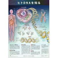 ミニポスタ-ヒトDNAを知る   /アプライ