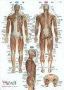 筋肉まるわかりシ-ト プラスチック下敷き 表層筋から深層筋まで  /ラウンドフラット