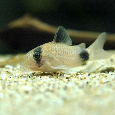 熱帯魚 コリドラス パンダ
