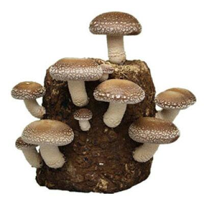 森産業 もりのしいたけ農園おかわり君 栽培ブロック(菌床) XR1 約1.5Kg